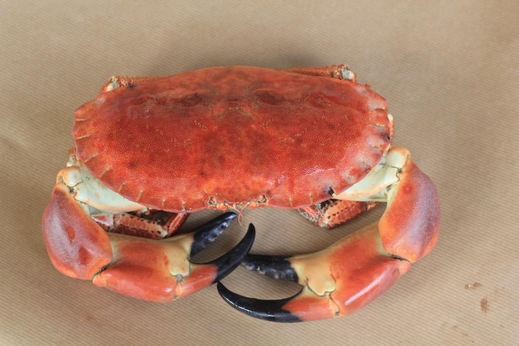 Tresco_Crab 1(97)
