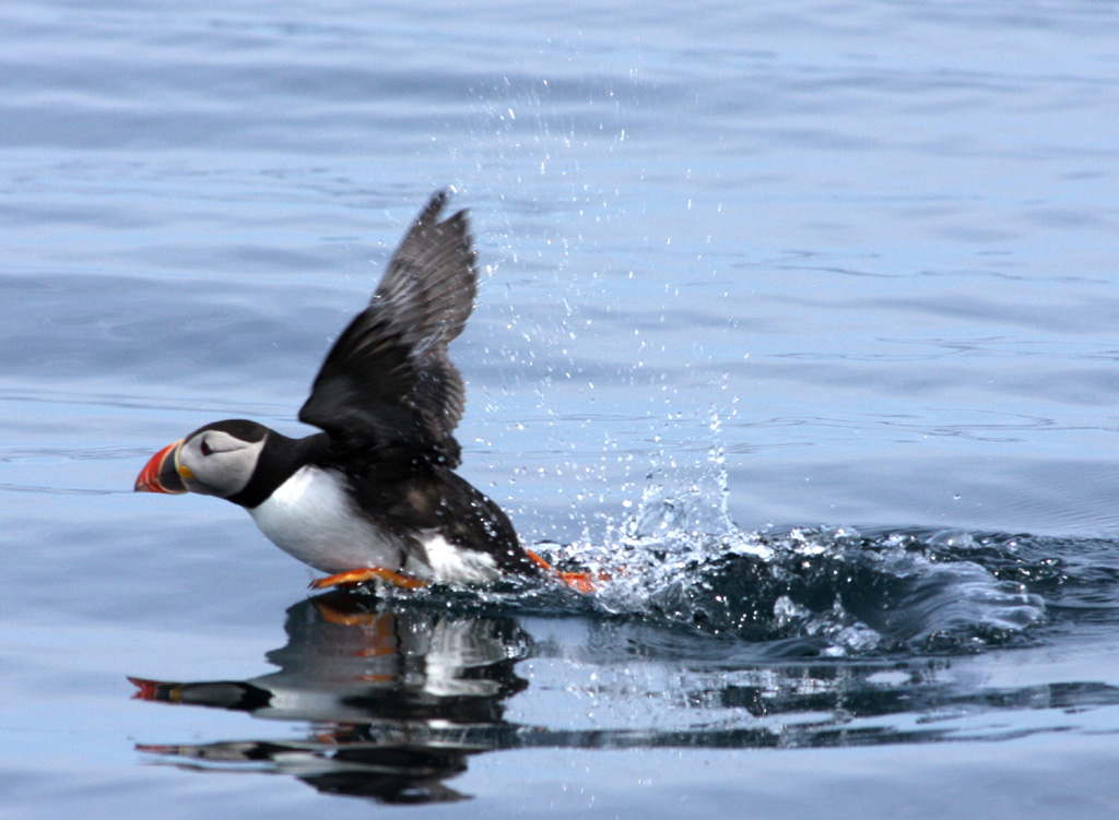 puffin_in_flight