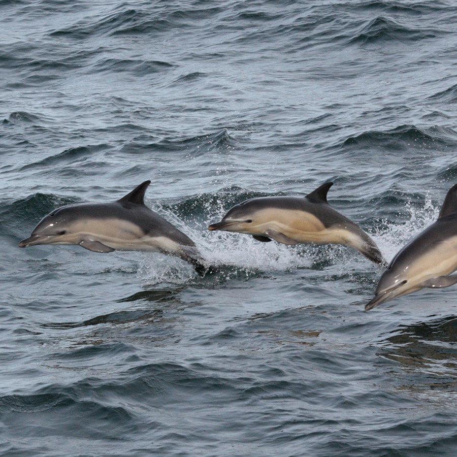 commondolphins