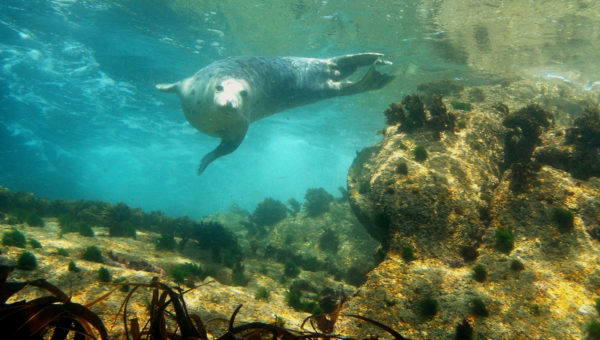 Atlantic Grey Seal - Isles of Scilly