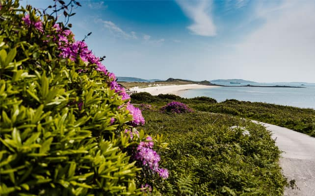 Rhododendron in bloom - Tresco