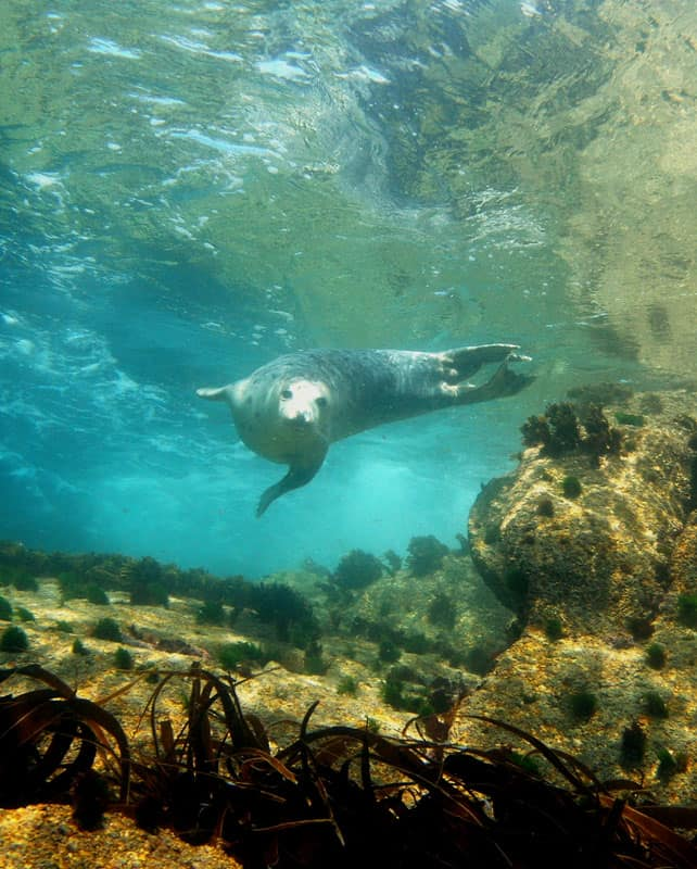 Snorkelling with seals - St. Martin's, Isles of Scilly