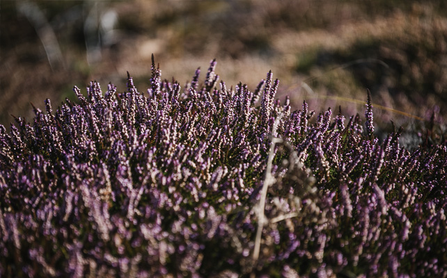 Heather in Autumn on St. Agnes, Isles of Scilly